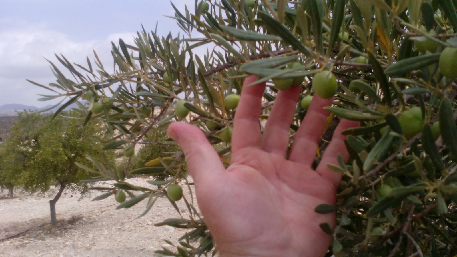 Hand Picked Olives